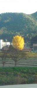 大きな銀杏の木☆