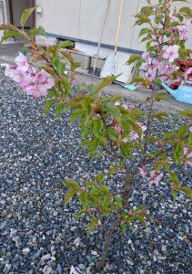 おうちの桜